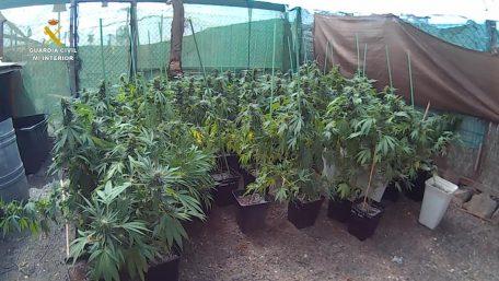 plantas marihuana Fuerteventura